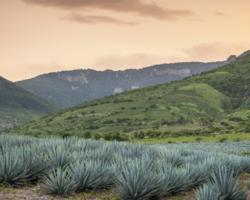 Gato por liebre en la comercialización del tequila