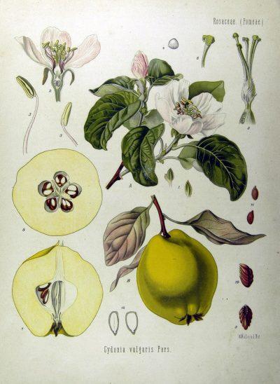membrillo botanico